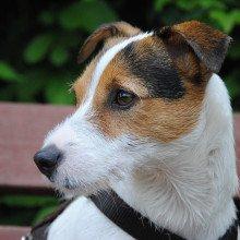 A terrier pet dog