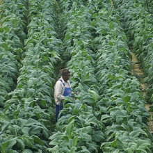 Willie Greeninge checks on his tobacco plants at his farm in Chatham, VA.