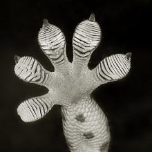 A Gecko foot, showing the sticky pads which are so interesting