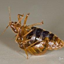 One bedbug (''Cimex lectularius'') traumatically inseminates another