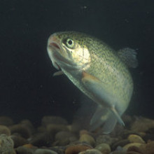 Trout are vulnerable to eye fluke parasites, which cause catarracts. Blinded, the fish cannot hide from predating birds and also alter their skin pigmentation to become much more silver, making them easier to catch.