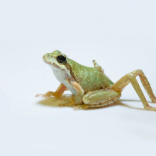 Chorus frog with parasite-induced limb malformation.