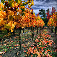 Autumnal Vineyard in Napa Valley