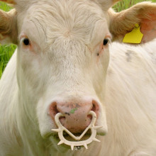 Bos taurus with a nose ring of the type that is used to wean calves. Family: Bovidae. Location: Münster, NRW, Germany