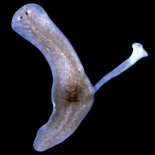 Learning more about the genes that allow flatworms to regenerate organs and tissue after amputation.