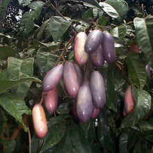 african plum