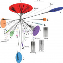 Genetic diversity of bacteriophages infecting Mycobacterium smegmatis
