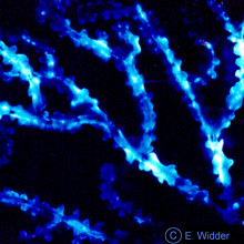 Bioluminescent bamboo coral
