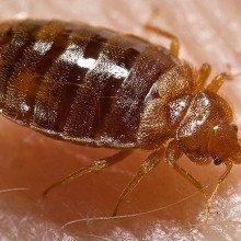 Bed bug: Cimex lectularius