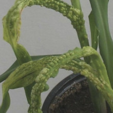 The pathogen that causes corn smut in maize employs a sophisticated strategy to increase its virulence.