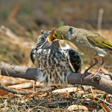 The cuckoo, perhaps the best known parasite, is reared by foster parents. After it hatches the chick pushes its adoptive brothers and sisters out of the nest.
