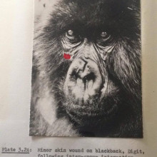 A photo of the gorilla Digit, from the PhD of Dian Fossey.