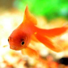A goldfish