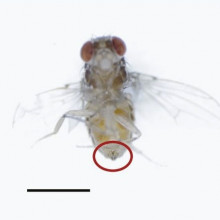 Male flies rub chemicals called TAGs onto female flies during mating to make them less attractive to other males.
