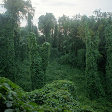 Kudzu (Pueraria lobata), an Asian vine that blankets buildings and trees in the southern United States, provides a graphic illustration of the potential of a plant invasion, as it literally chokes out native plant life.