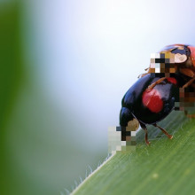 Two ladybirds mating