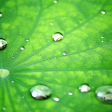 The surface chemistry of the lotus leaf repels water, providing the basis of its self-cleaning mechanism.