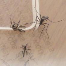 A pair of Mosquitoes