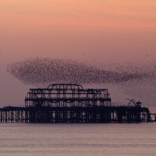 Starlings flocking as a murmuration in the sky