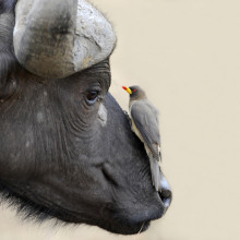 An oxpecker and buffalo have a mutualistic relationship.