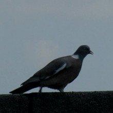 Pigeon teaser
