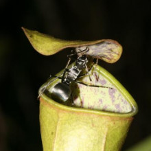 Pitcher plant and ant