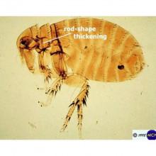 Plague infected rat flea by Michael Wunderli