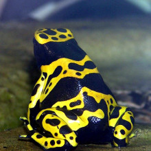 Yellow-banded Poison Dart frog Dendrobates leucomelas