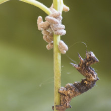 A caterpillar of the geometrid moth Thyrinteina leucocerae with pupae of the Braconid parasitoid wasp Glyptapanteles sp. Full-grown larvae of the parasitoid egress from the caterpillar and spin cocoons close by their host. The host remains alive,...