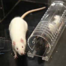 A rat will help another rat if it is familiar with that type of rat, even if it has not met the actual rat before.