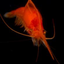 Red Mysid Shrimp