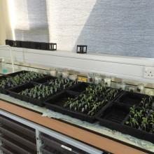 The Perse School Rocket Seeds