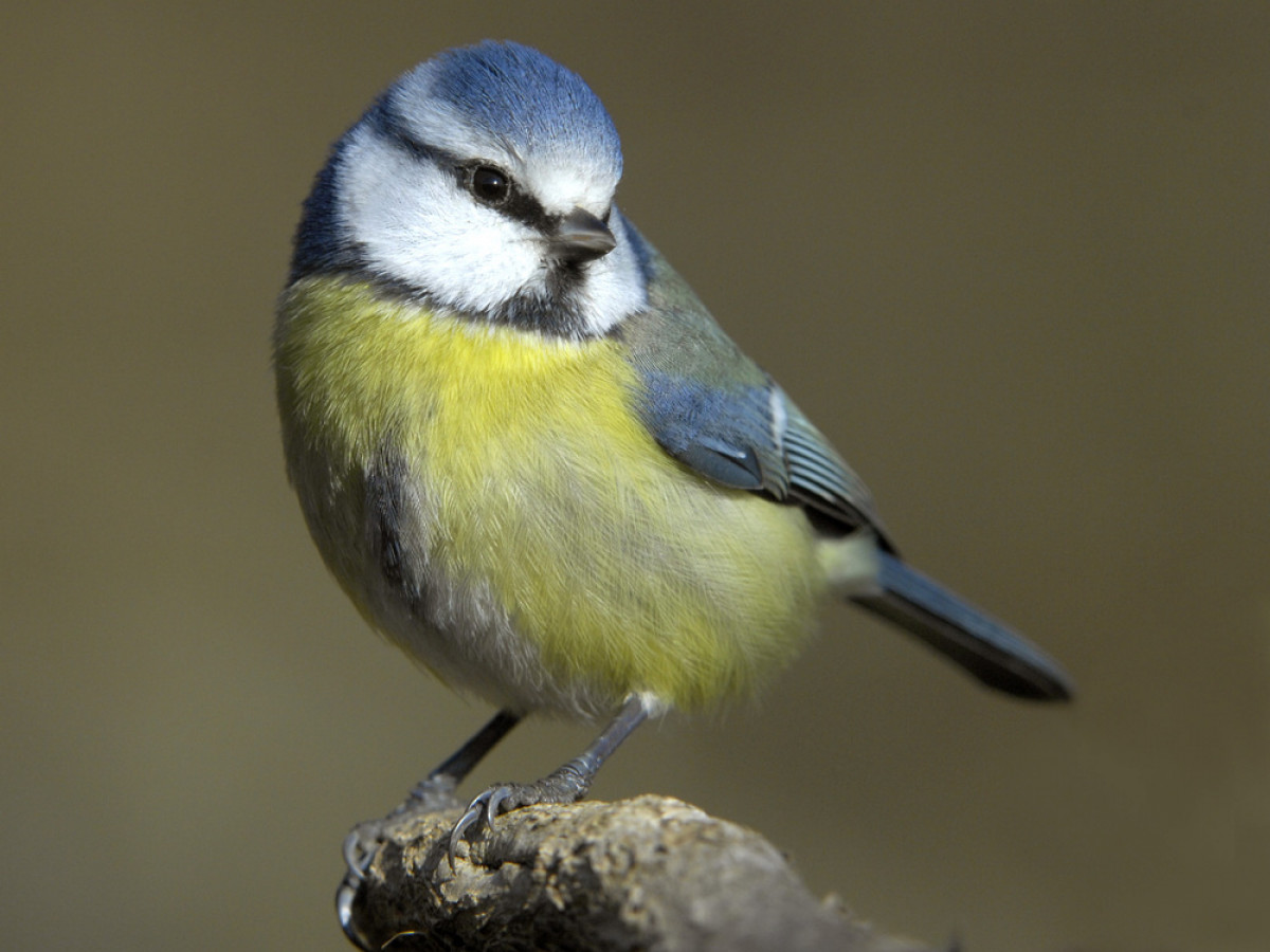 Avian Pox hits Great Tits - Planet Earth | Interviews