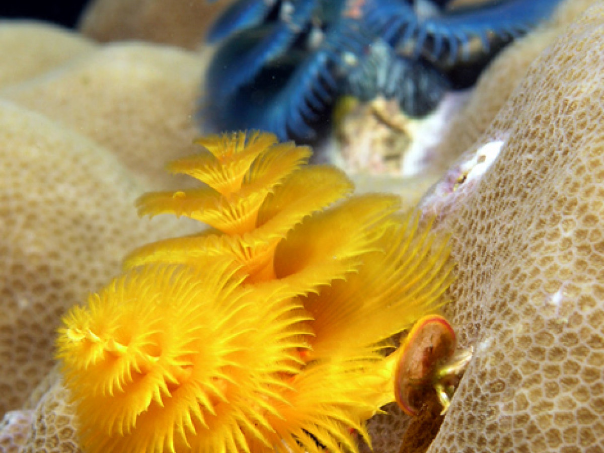 Christmas tree worms | Interviews | Naked Scientists